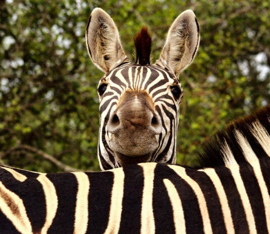 kruger-national-park-zebra-iStock-1319098578-th