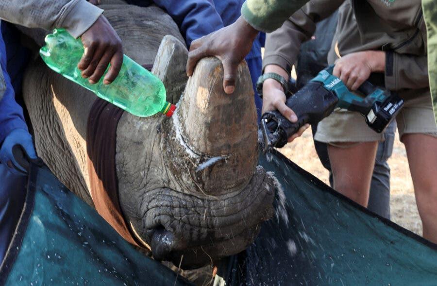 rhino horn south africa