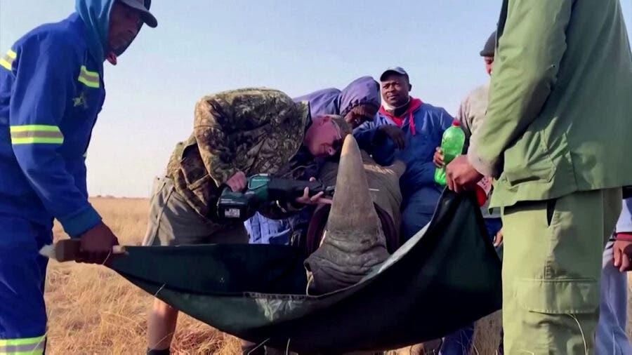 rhino ranch South Africa rhino horns