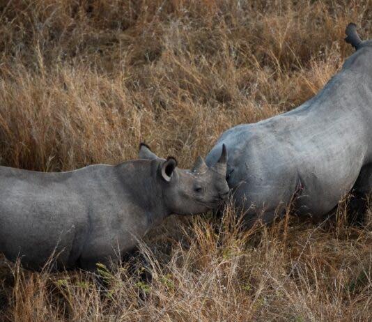 Postcode Meerkat: A guardian of South Africa's rhinos