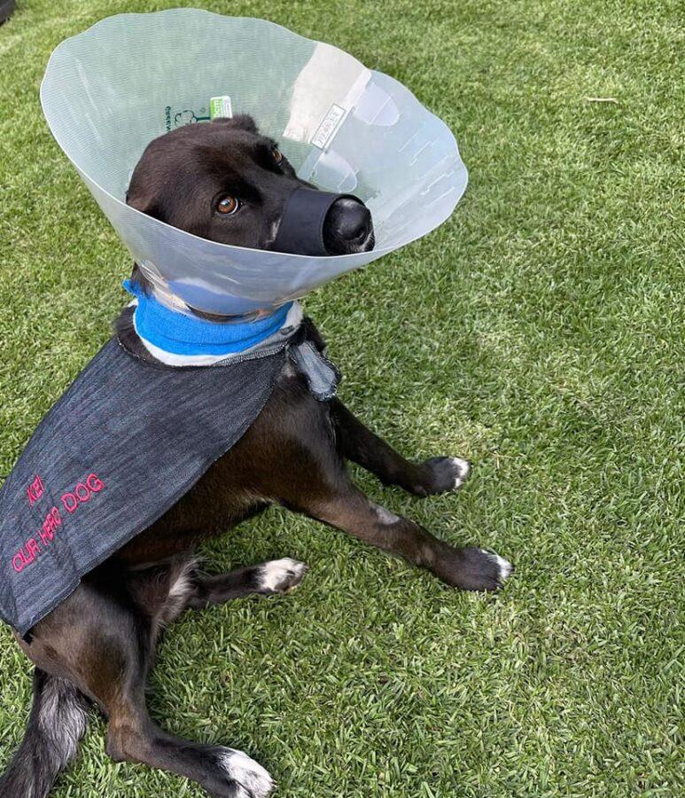 Boksburg SPCA Kei Update: Hero Dog Released from Hospital but Long Road Ahead