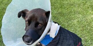 Kei Update: Hero Dog Released from Hospital but Long Road Ahead