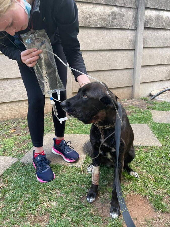 SPCA dog hero benoni break in