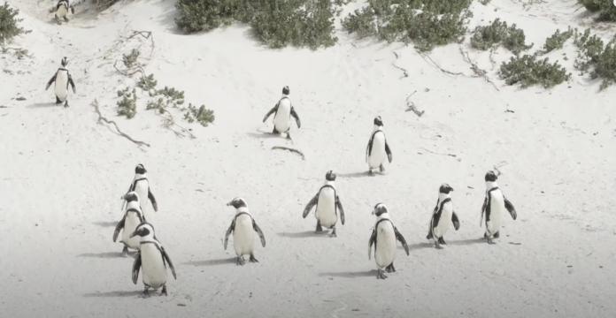 death of penguins carte blanche