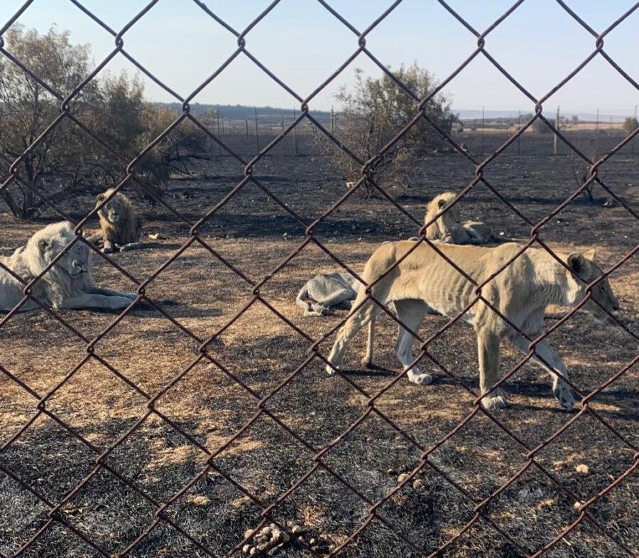 lions animal cruelty bloem spca free state fires