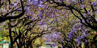 Jacaranda trees Pretoria 2021