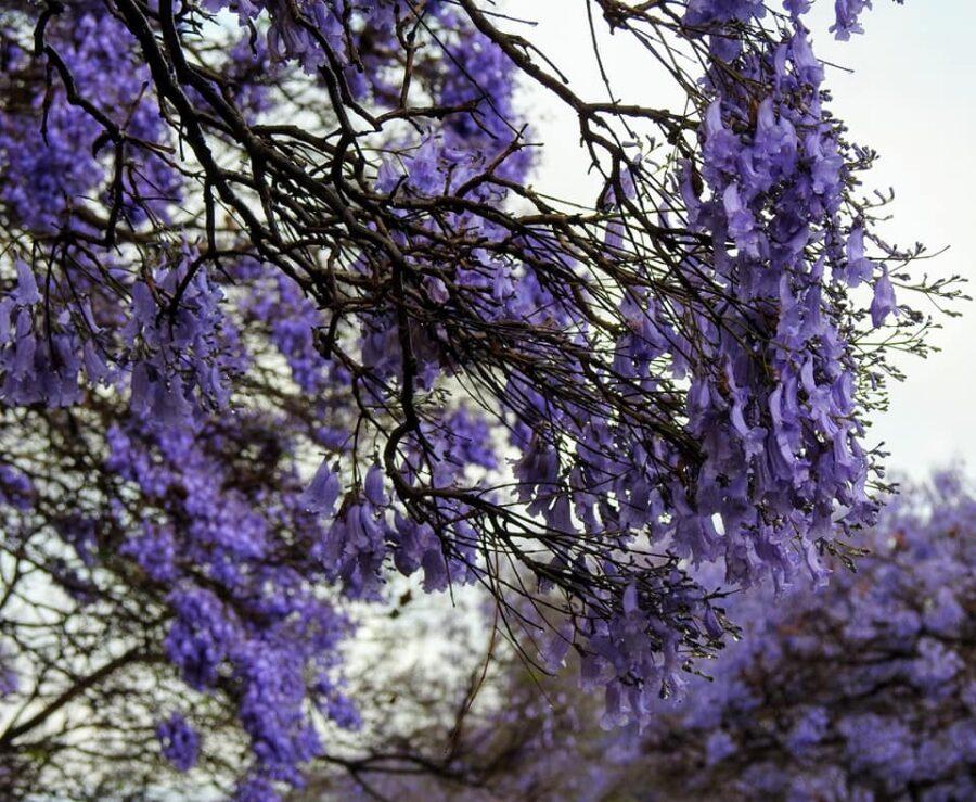 Jacaranda petals south africa