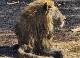 30 Lions Euthanised After Burning in Free State Fires