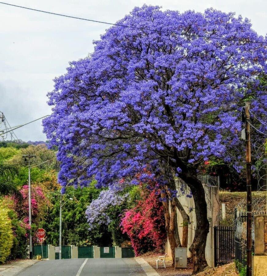 Pretoria jacaranda trees in bloom