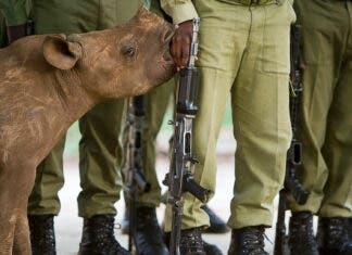 rhino poacher arrests south africa