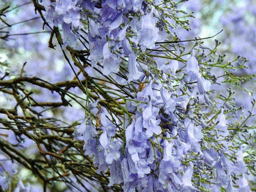 Jacaranda petals pretoria