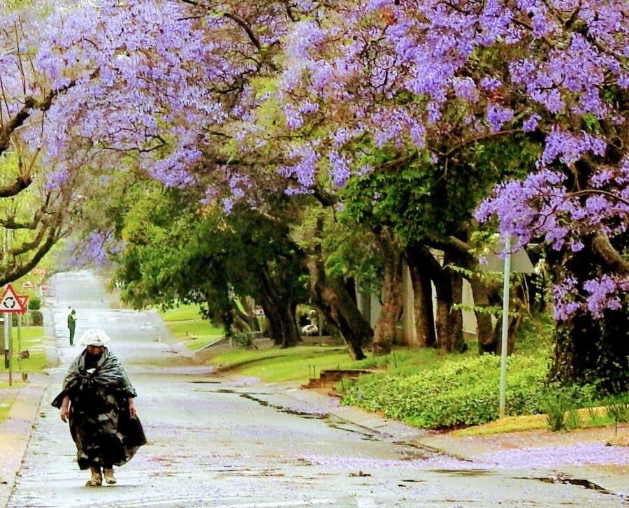 Jacarandas Pretoria rain