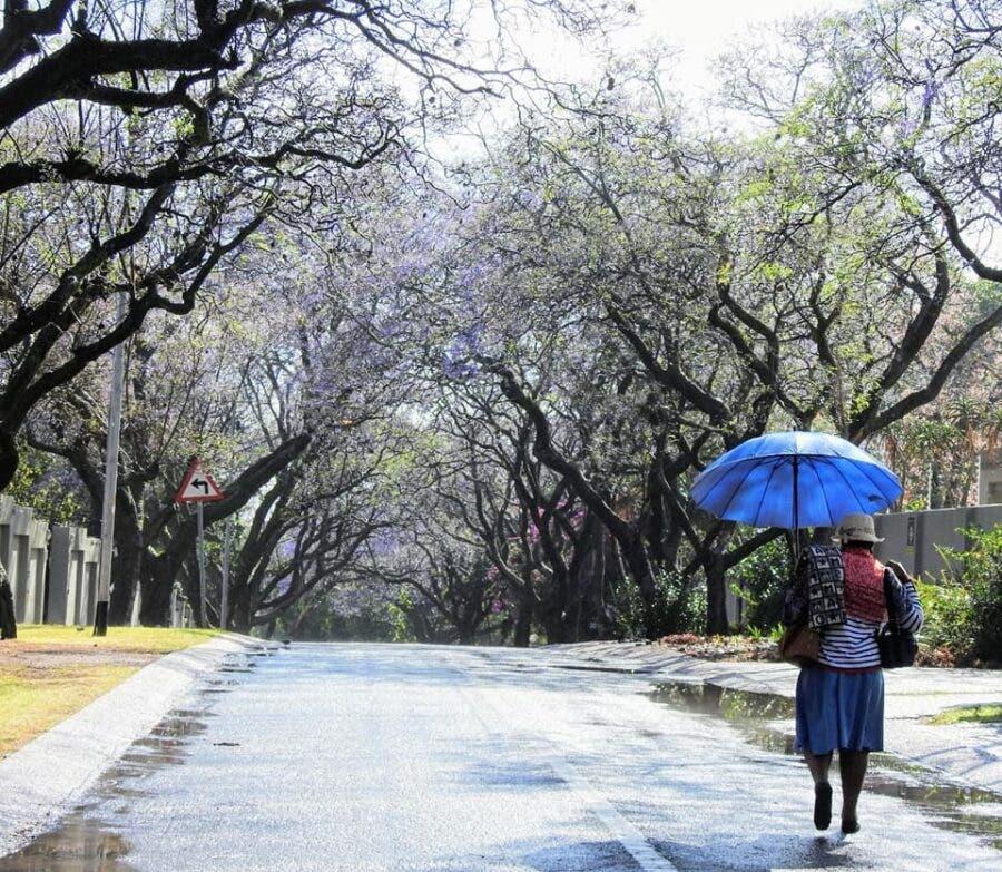 Waterkloof umbrella jacarandas