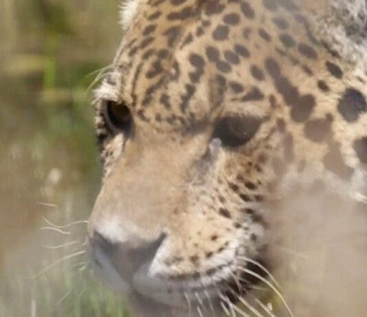 White Tigers Terrify Boksburg Residents! Carte Blanche This Sunday